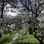 Magnolia Tree at Kew Gardens