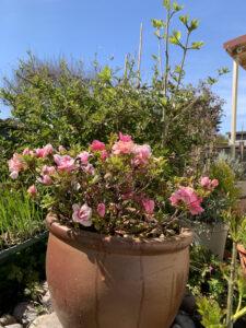 Mini roses in large terracotta pot